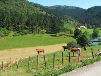 Cows in the Basque Country