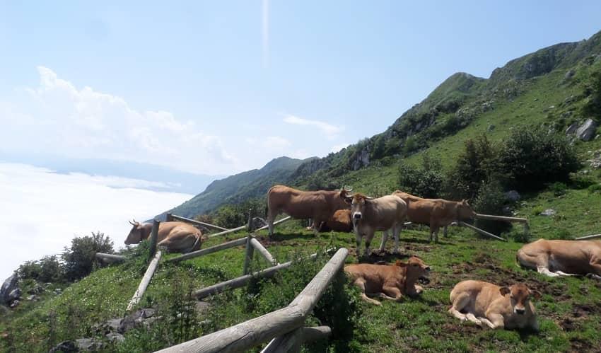 Cows on Angliru