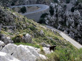 Goat on Sa Calobra