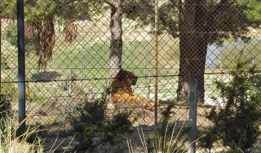 Alto del Tigre - Tiger on the climb